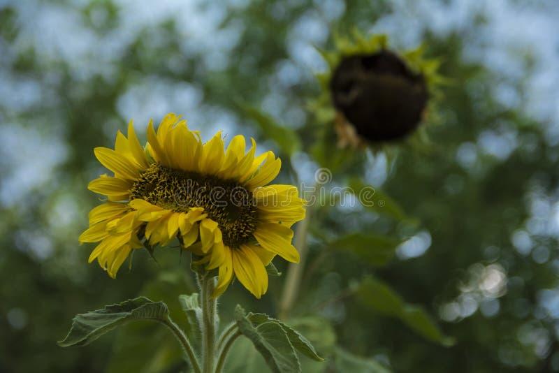 Niezwykła słonecznikowa mutacja zdjęcie royalty free