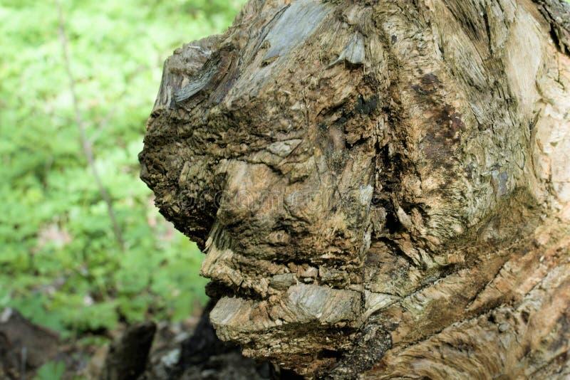 Niezwykła struktura przegniły fiszorek w wiosna lesie fotografia royalty free