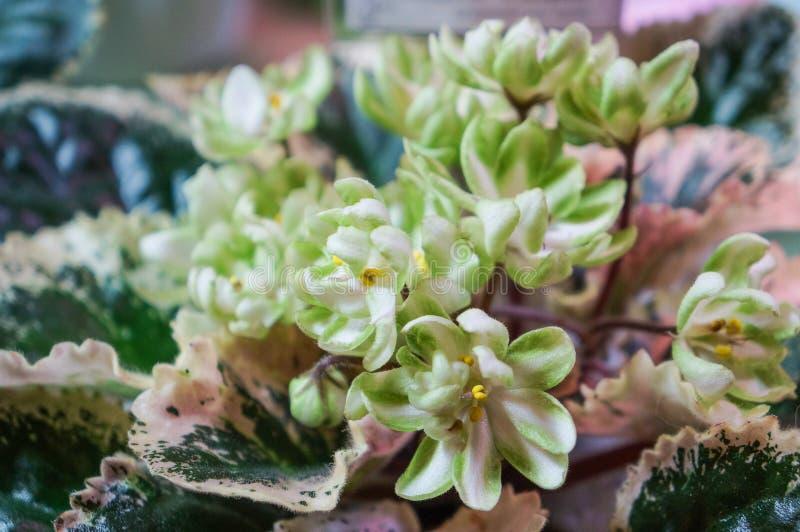 Niezwykła zieleń kwitnie doniczkowych fiołki kwitnących w wiosna domu zdjęcie stock