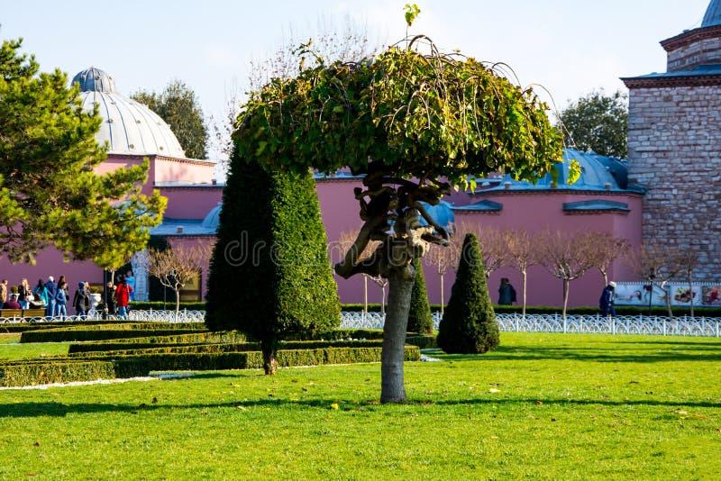 Niezwykły drzewo w ogródzie Hagia Sophia fotografia royalty free