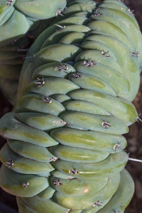Niezwykły opancerzenie jak struktura zielona tłustoszowata roślina obrazy royalty free