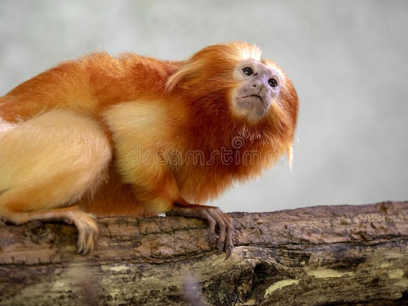Niezwykle barwiona Złota lew długouszka, Leontopithecus rosalia fotografia stock