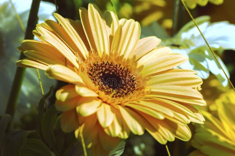 Niezwykle piękna pomarańcze barwił gerbera kwiatu w kwiacie zdjęcia royalty free