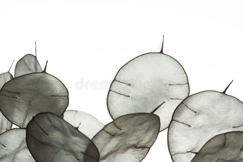 Niezwykli liście z poradą w backlight Tekstura liście odizolowywający na białym tle Eco styl, naturalni materiały obraz royalty free