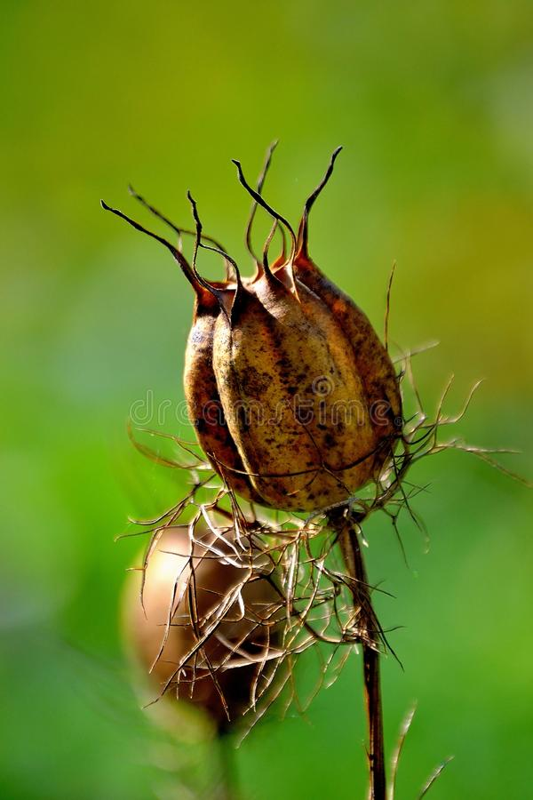 Nigella arvensis stock photo