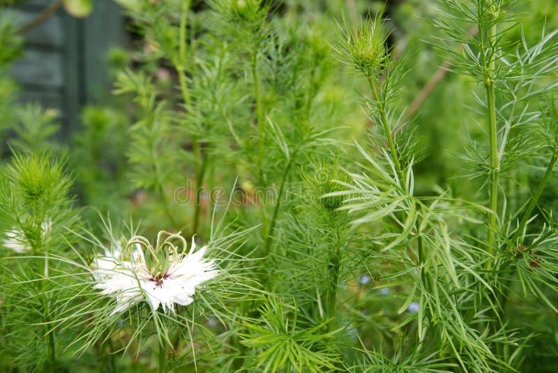 Delicate white petals, Love in a Mist, Nigella Damascena stock images