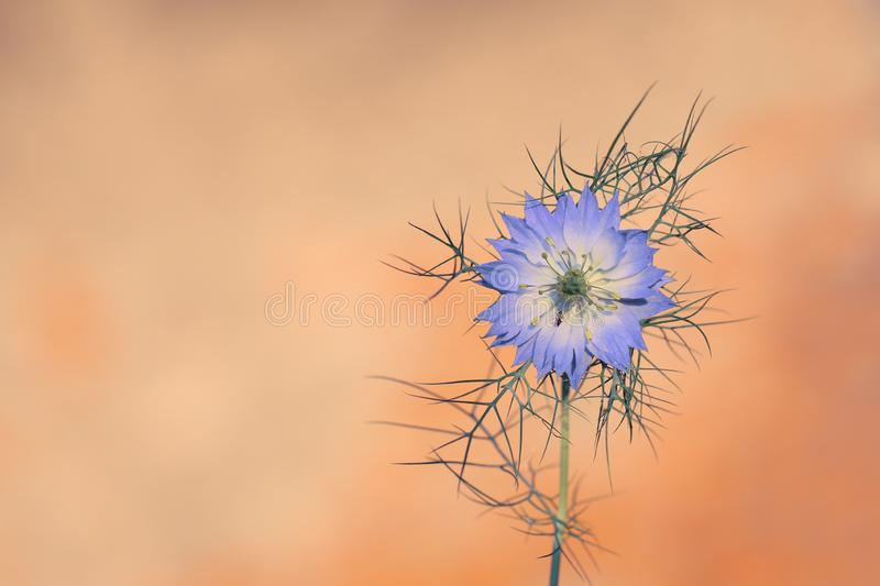 Nigella damascena is a rare flower grown in a home garden royalty free stock images