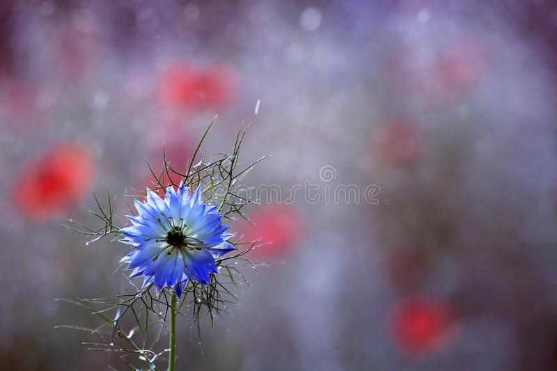 Nigella damascena is a rare flower grown in a home garden royalty free stock photo