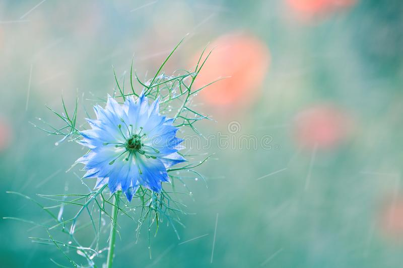 Nigella damascena is a rare flower grown in a home garden royalty free stock image