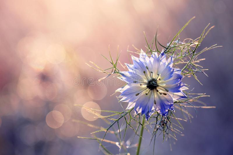 Nigella damascena is a rare flower grown in a home garden royalty free stock photography