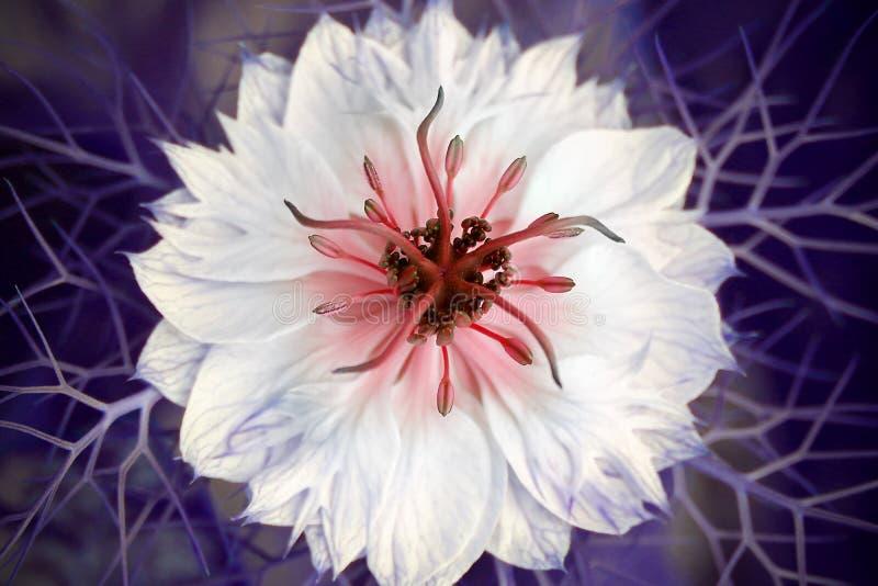 Nigella damascenablomma royaltyfri bild