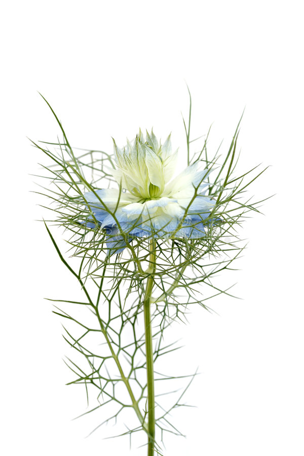 Download Nigella flower stock photo. Image of close, macro, flower - 3357210