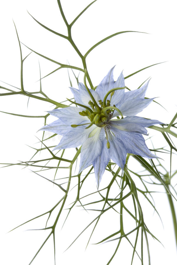 Download Nigella flower close up stock image. Image of roman, blackseed - 26426661