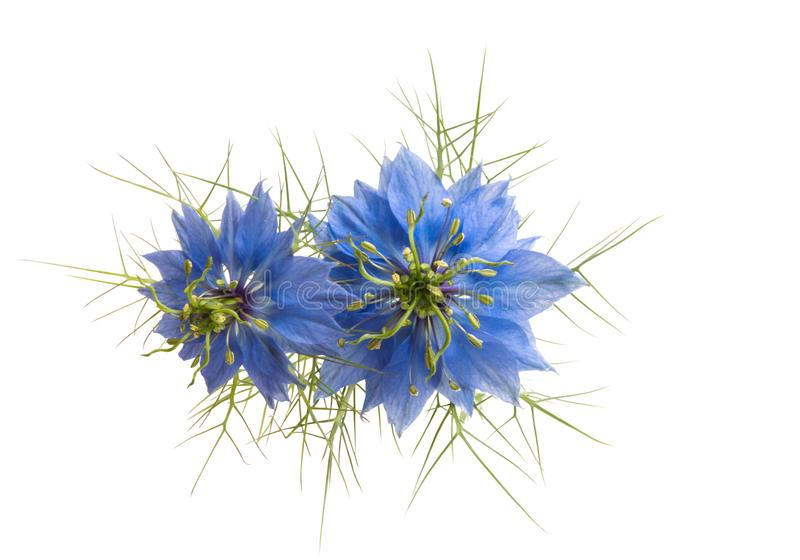 Nigella flower isolated. On white background stock photos