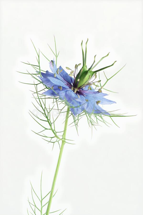 Love in the mist flower on a white backdrop royalty free stock photos