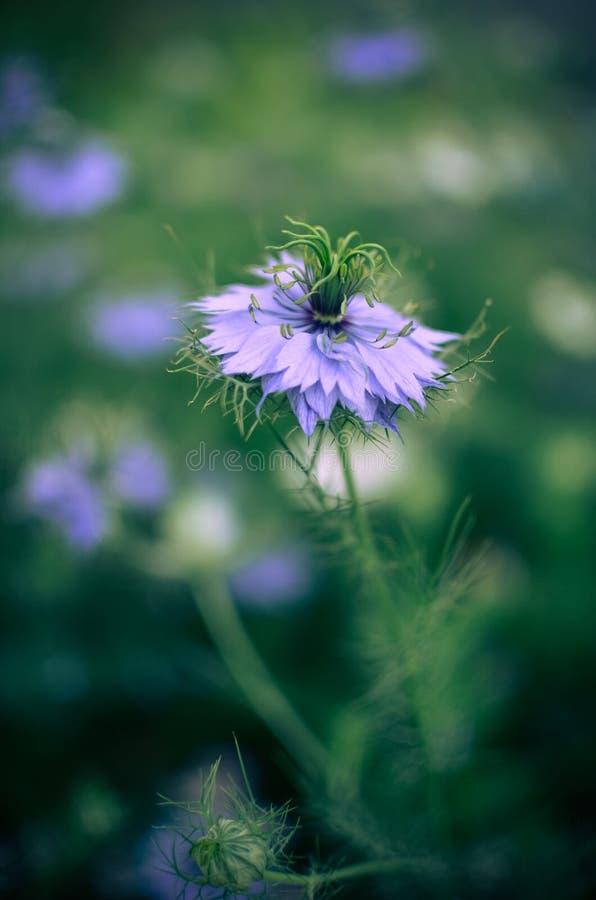 Nigella Sativa - Blaue Und Weiße Blumen Der Natur Stockfoto - Bild ...
