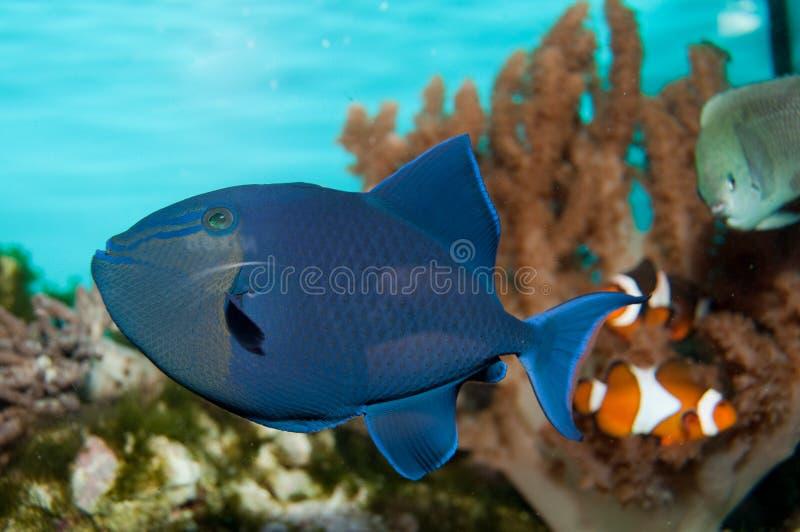 Niger Triggerfish arkivbilder