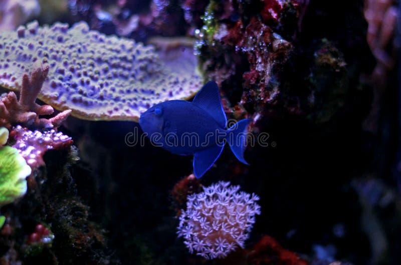 Niger Triggerfish - Odonus Niger lizenzfreies stockbild