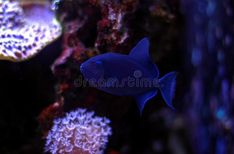 Niger Triggerfish - Odonus niger. Niger Triggerfish is one of the more peaceful of the triggerfish and is considered by many people to be reef safe. It will not royalty free stock images