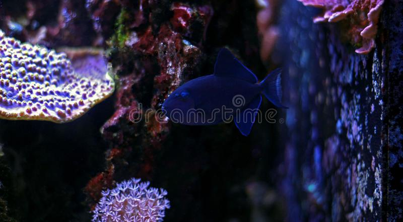 Niger Triggerfish - Odonus niger. Niger Triggerfish is one of the more peaceful of the triggerfish and is considered by many people to be reef safe. It will not stock image