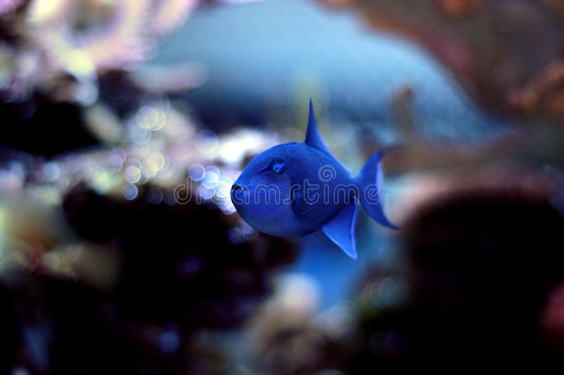 Niger Triggerfish - Odonus niger. Niger Triggerfish is one of the more peaceful of the triggerfish and is considered by many people to be reef safe. It will not stock photography