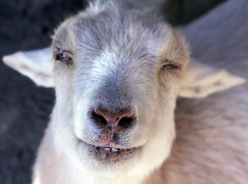 Nigerian Dwarf Goat. A Nigerian Dwarf goat mugs for the camera. Selective focus on the snout stock image