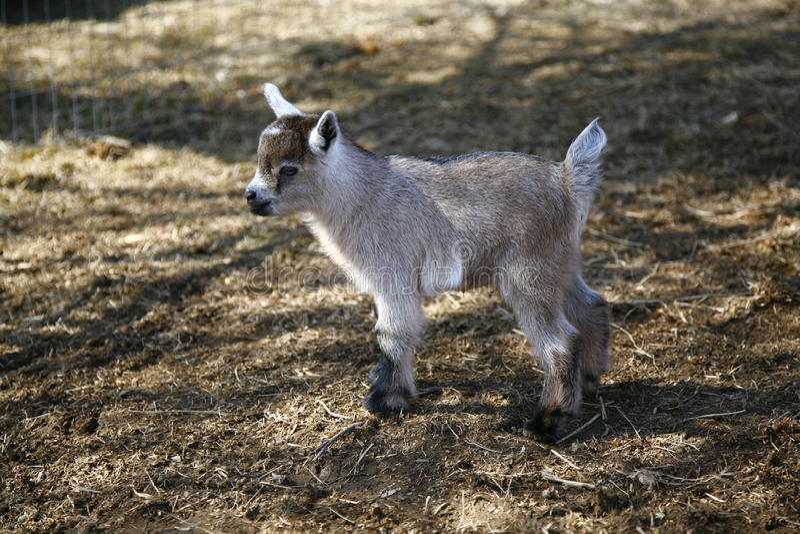 Nigerian Dwarf goat kid. Few days old Nigerian Dwarf baby goat royalty free stock photos
