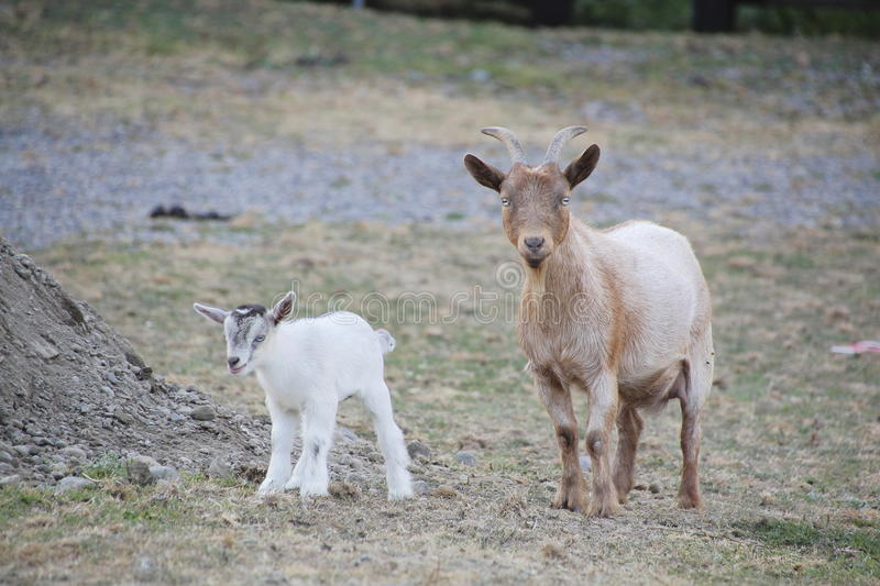 Nigerian Dwarf Goat and Kid royalty free stock photography