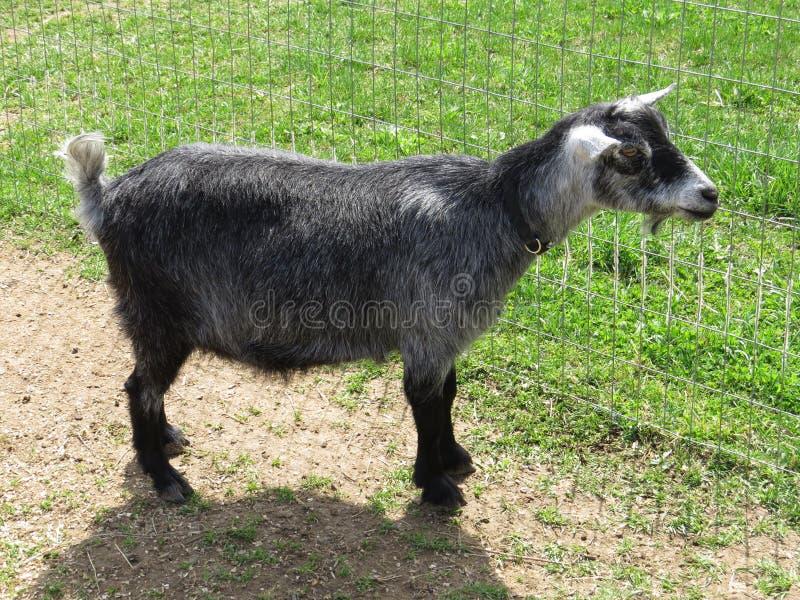 Nigerian Dwarf goat. 2 year old Nigerian Dwarf goat stock image