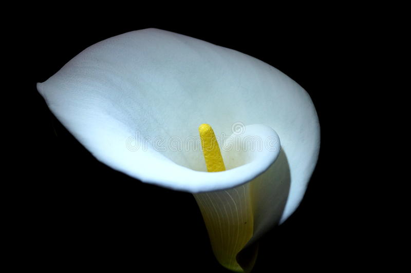night alcatraz flower calla lilies stock image image of lilies