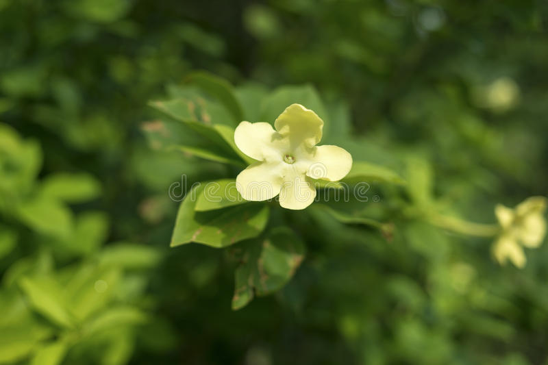 Night blooming jasmine. Plant with focus on flower royalty free stock image