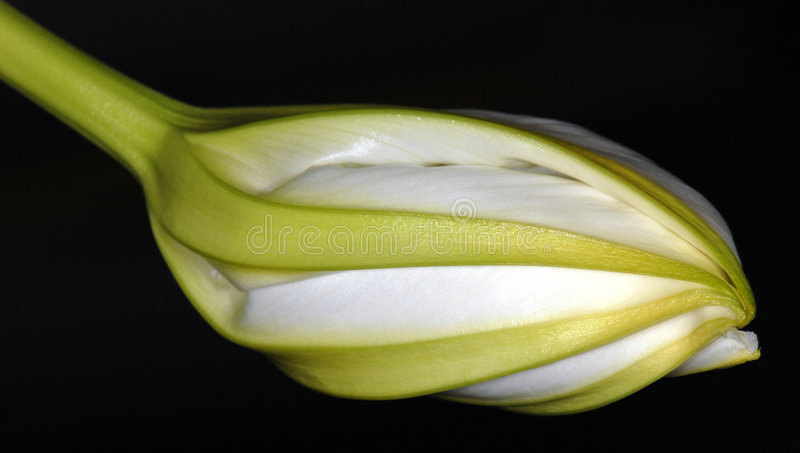 Night-Blooming Moonflower royalty free stock photo