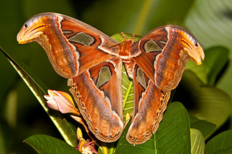Night butterfly Atlas moth or Attacus atlas the biggest butterfly, Thailand royalty free stock images
