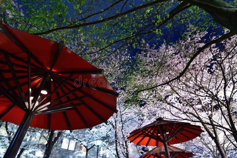 Night cherry blossom at Gion, Kyoto Japan royalty free stock photo