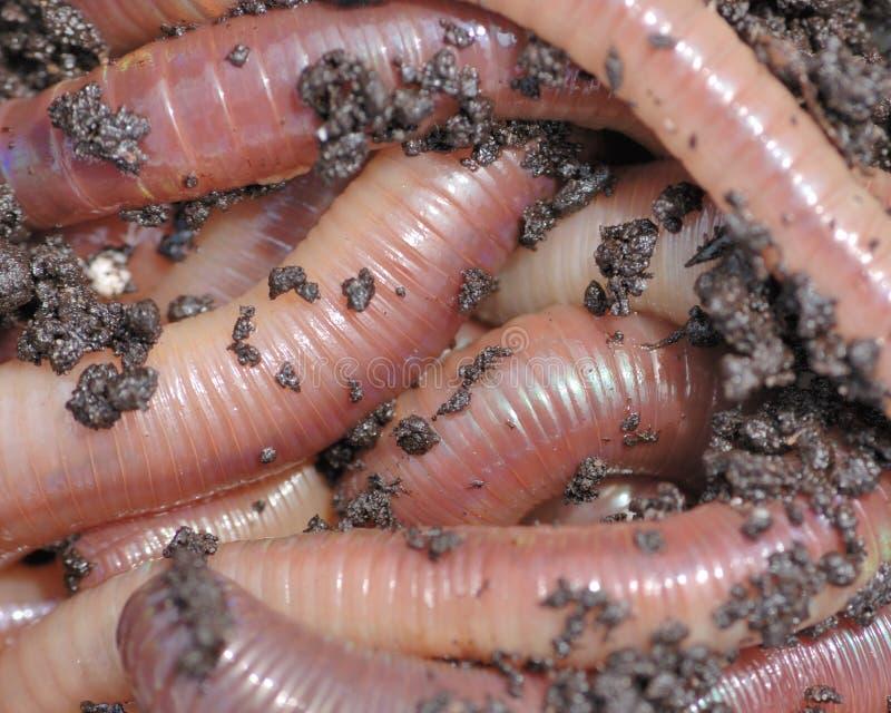 Night crawlers. Nightcrawler earth worms used for fishing bait stock image