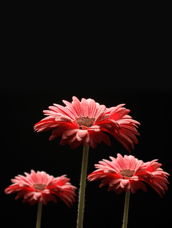 Night Gerbera. Isolated red flowers on black background. Gerbera is a genus of ornamental plants from the sunflower family (Asteraceae). Gerbera is also stock images