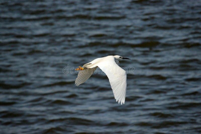 Night heron royalty free stock images