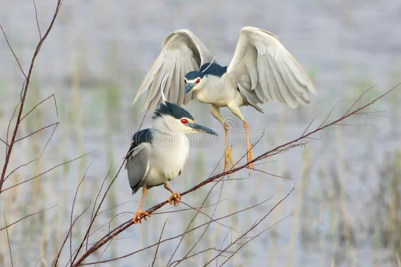 The night heron sits on a thin branch, and behind it another bird flies up. stock photo
