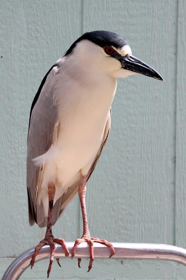 Night heron stock photography