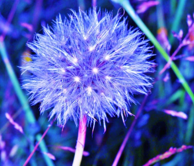 Night lite dandelion stock photography