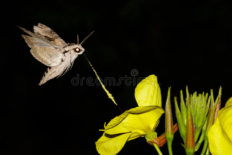 Night macro of sphingidae royalty free stock photos
