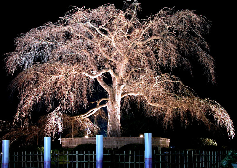 Download Night old cherry tree stock image. Image of design, park - 191751