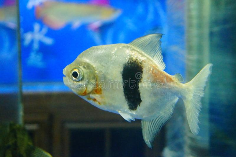 Fish in the aquarium, very cute fish stock images