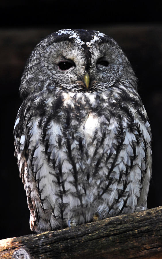 Free Night Owl Stock Images - 21607654