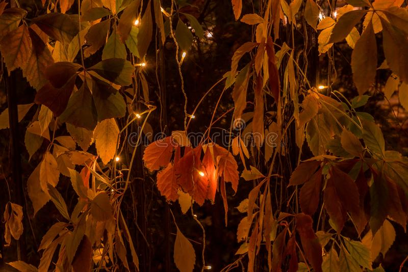 Night photo. Live fence of red leaves of wild grapes with lights of garlands. Magic autumn. stock image