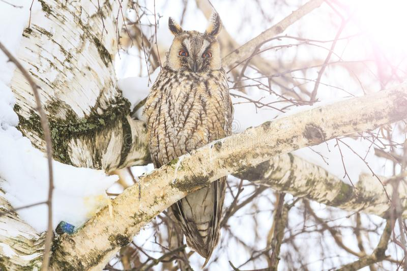 Night predatory bird sitting in a tree in a winter day stock photos