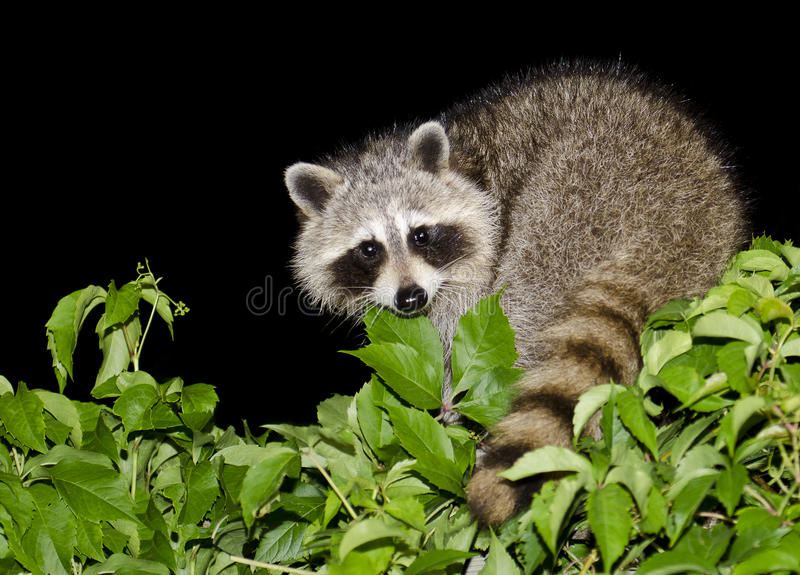 Night Raccoon stock photo