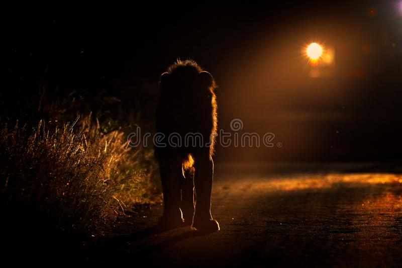 Night safari with light. Lion walking on the road with car in Kruger National Park, Africa. Animal behaviour in the nature habitat stock images