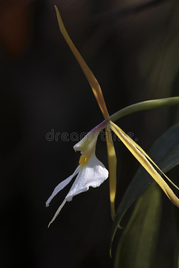 Night Scented Orchid, southwest Florida stock photos
