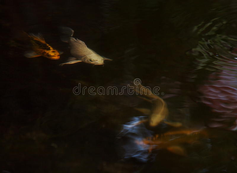 Night shot of small young long tail white silver yellow gold colour KOI fish royalty free stock photography